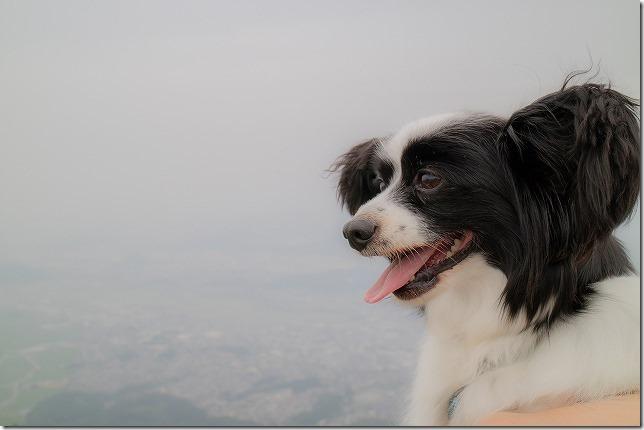 米山展望台を堪能するパピヨン