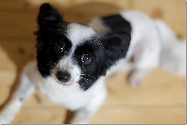 サマーカットのパピヨン犬