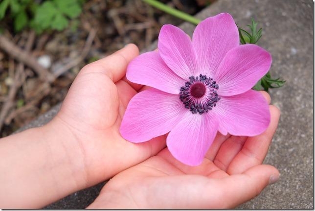 アネモネ 赤紫