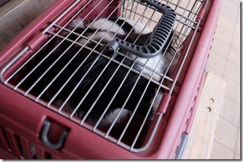 動物病院へ向かうパピヨン犬