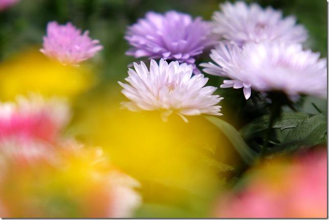 八重咲きのアスター