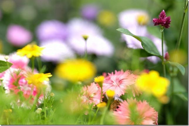 ダールベルグデージー(Dahlberg daisy)-ティモフィラ・イエロー(Thymophylla yellow)