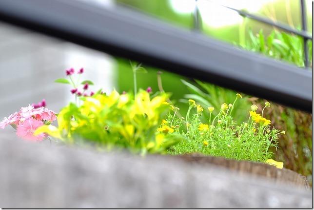 千日小坊とダールベルグデージー、ナデシコとアクセントにカラーリーフを秋の寄せ植え