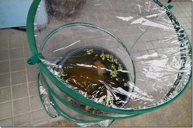 メダカの温室、冬対策