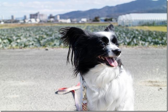 パピヨン犬の散歩