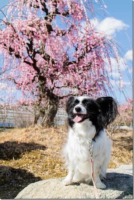 金武小学校の近くにある「しだれ梅」とパピヨン犬
