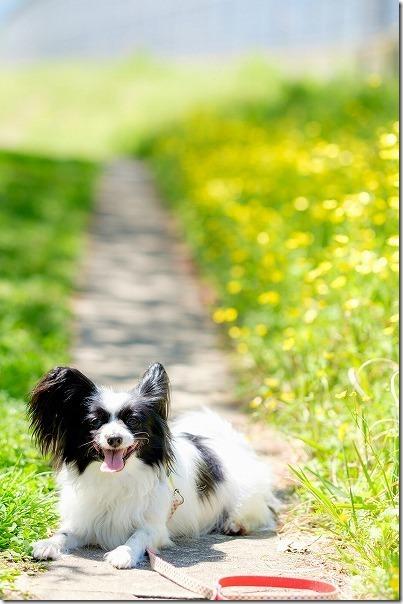 室見川の春、パピヨン犬と散歩