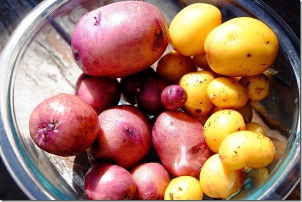 収穫したジャガイモ「インカのめざめ」と「タワラムラサキ」