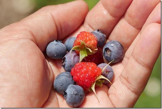 初収穫のベルーベリーとラズベリー