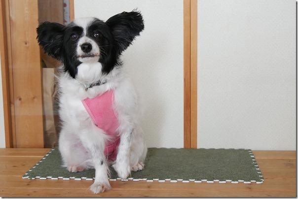 パピヨン犬の乳癌手術