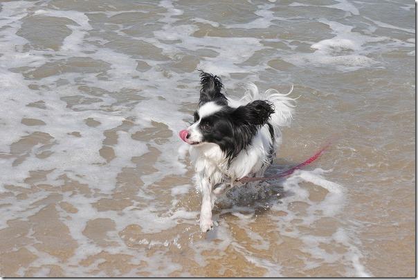 今宿の浜で水遊びの犬