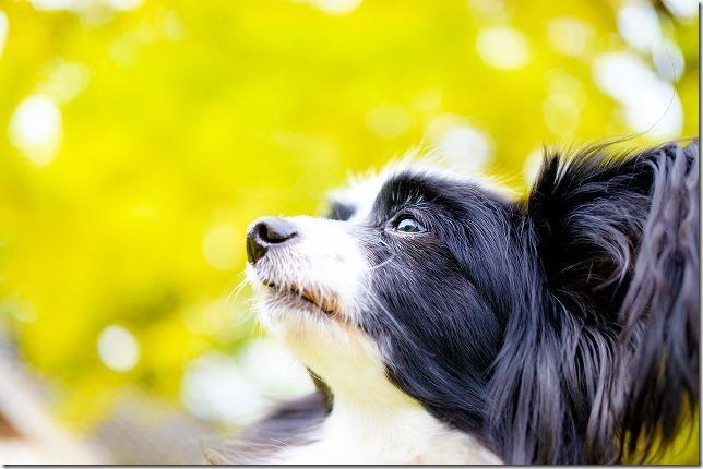 パピヨン犬と紅葉