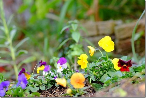 各種ビオラの地植え