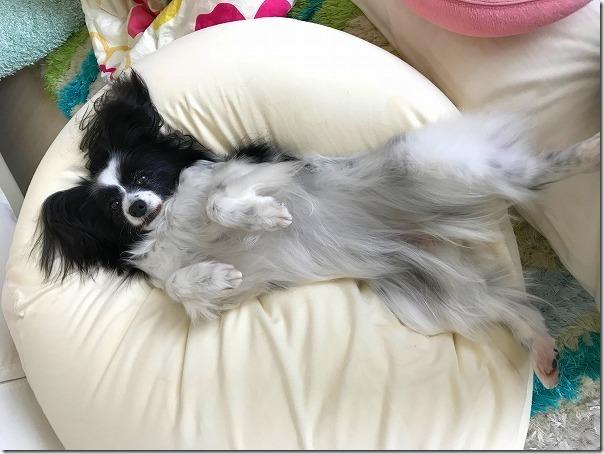 抗癌剤治療中のパピヨン犬