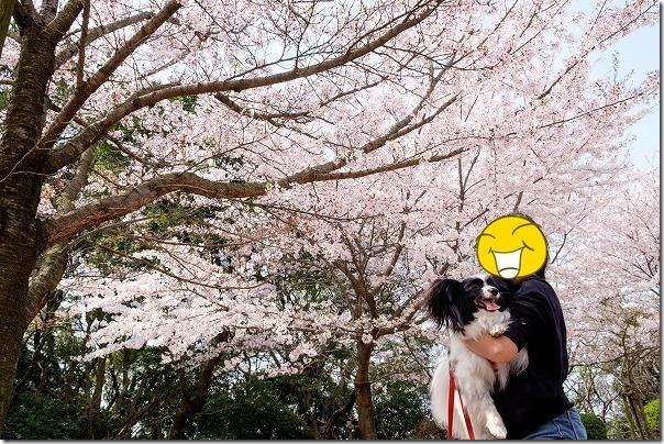 志免町総合スポーツ公園の桜とパピヨン犬