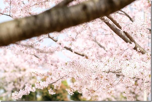 志免町総合スポーツ公園の桜