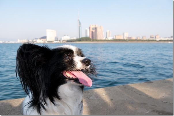 愛宕浜とパピヨン犬