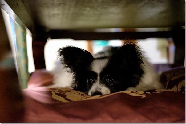 犬と宿泊した宝来館のお部屋で就寝タイム