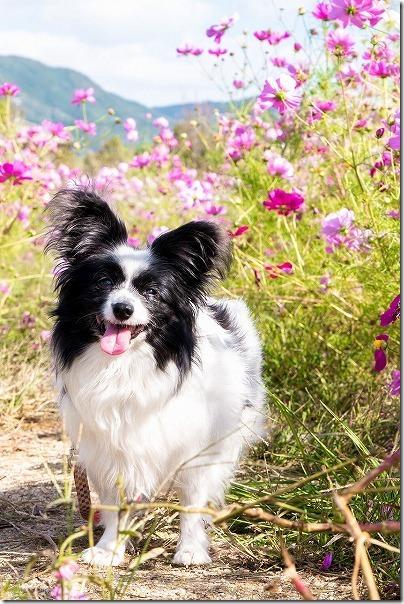 糸島,平原歴史公園のコスモス畑の中で犬の写真