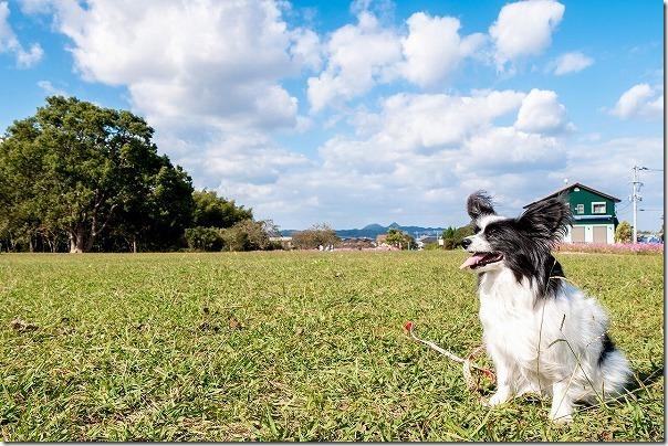 糸島,平原歴史公園の芝生、犬と散策
