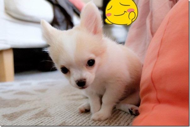 ロングコートチワワの子犬