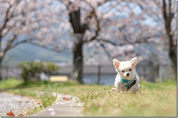 西部運動公園で犬(チワワ)と桜で散歩