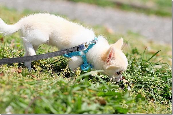 西部運動公園で犬(チワワ)
