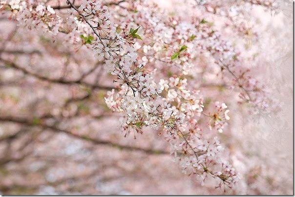 橋本八幡横の橋本南公園の桜は満開