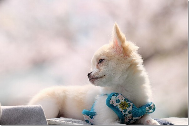 チワワ犬と橋本南公園の桜