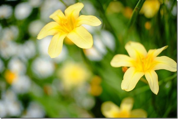 黄色い花の球根で背丈が高い花ですよ