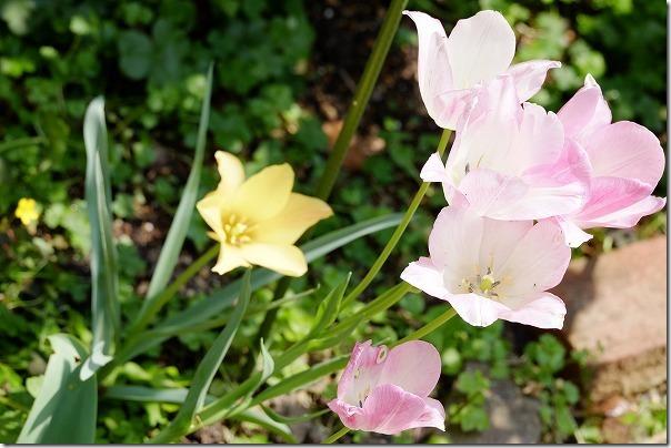 野放し球根ピンクアンドイエローのイエローと、枝咲きチューリップ