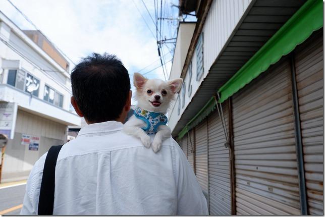 別府、鉄輪温泉を犬と散歩,肩乗りチワワ