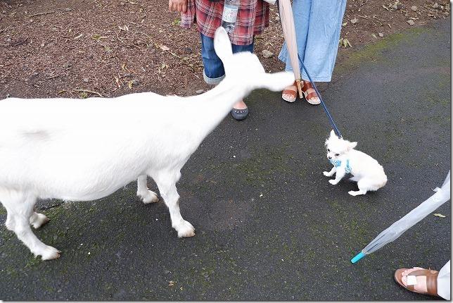 ヤギと犬、くじゅう自然動物園