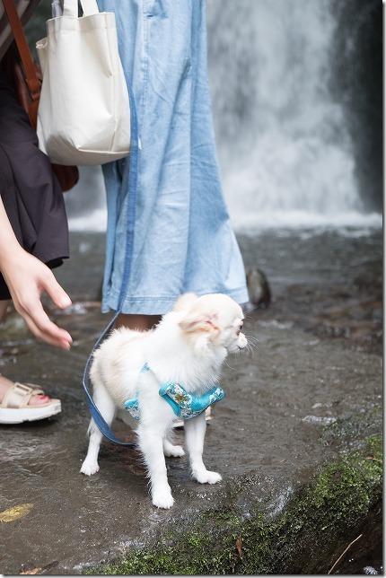 桂茶屋近くの天狗の滝で犬と水遊び