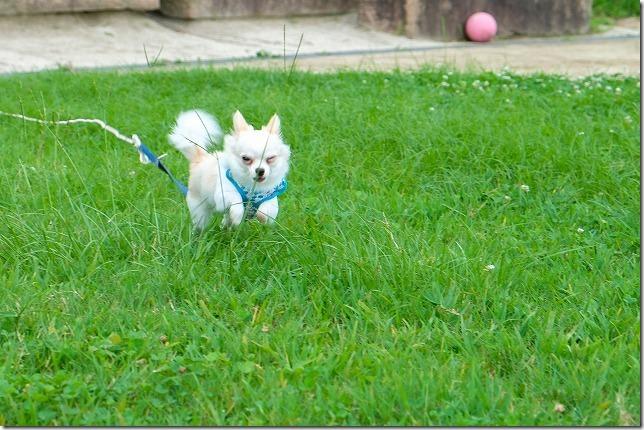 小戸公園の芝生を走るチワワ・犬
