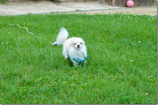 小戸公園の芝生を走るチワワ・犬・変顔