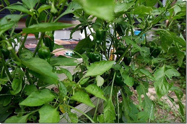 6月にプランターのピーマンを収穫開始