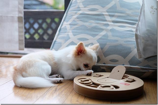 犬の木製玩具で遊ぶチワワ