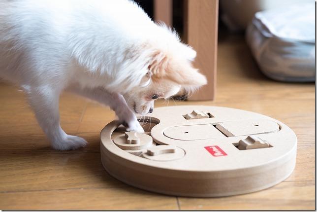 犬の知育おもちゃ、ハンティングパズルでチワワが遊ぶ