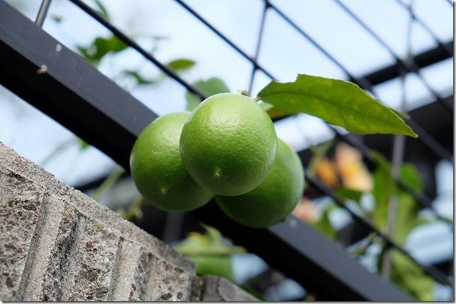 3年目のマイヤーレモンが果実