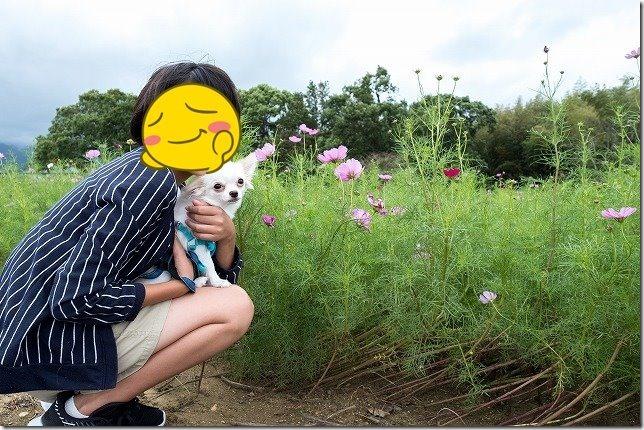 糸島,平原歴史公園,犬,コスモス,チワワと子供