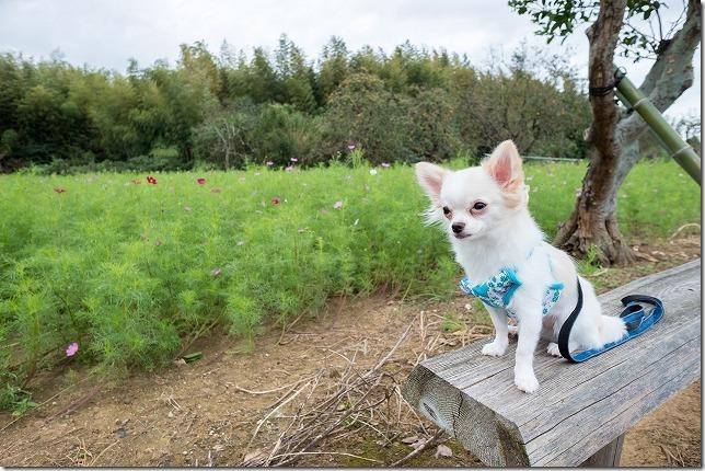 糸島,平原歴史公園,犬,コスモス,チワワ