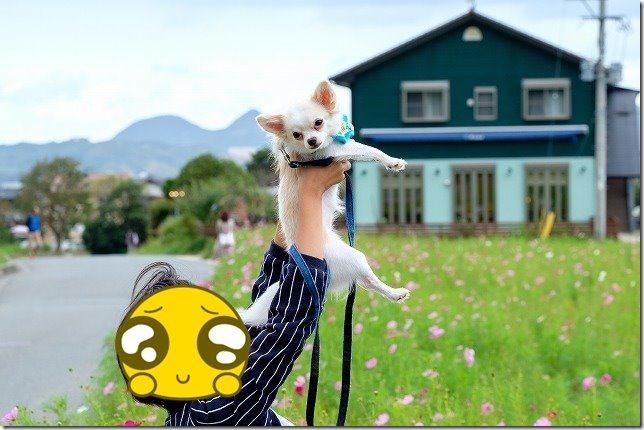 糸島,平原歴史公園,犬,散歩,チワワ