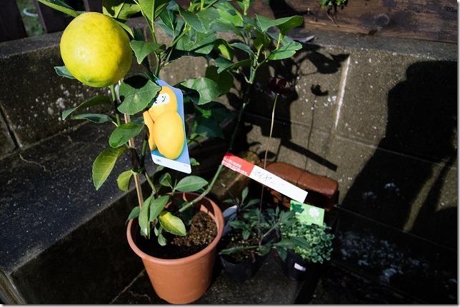 購入したマイヤーレモンの苗
