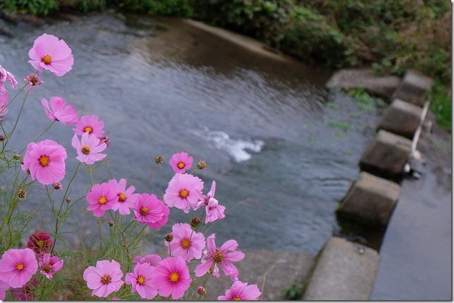 糸島、川沿いのコスモスの花
