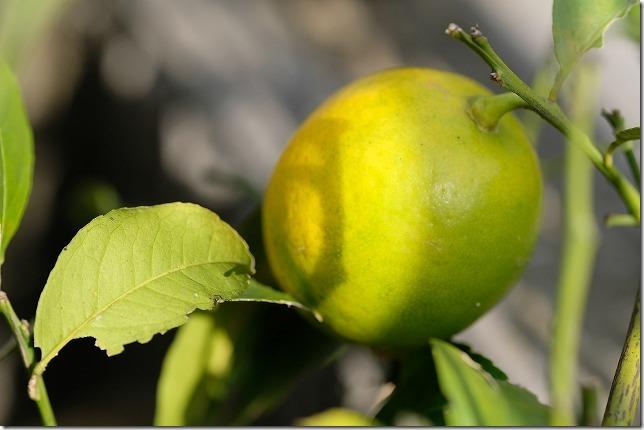 11月に色づき始めたマイヤーレモン