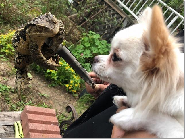 ヒキガエルとチワワ・犬