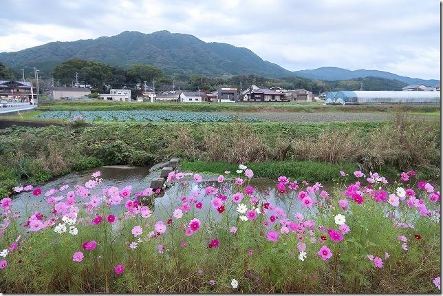 糸島の川沿いのコスモスの小道