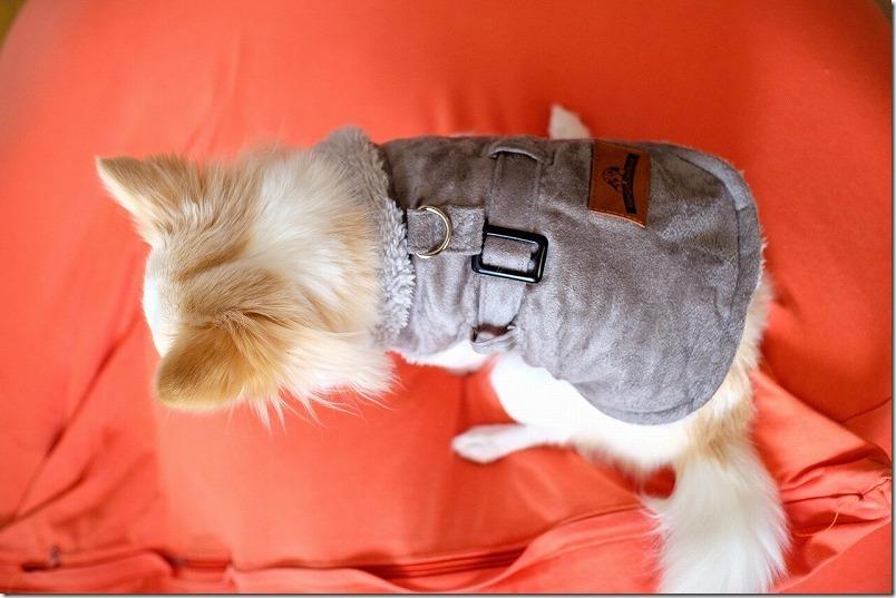 チワワのこむぎに新しいジェケット風の洋服(秋冬用)