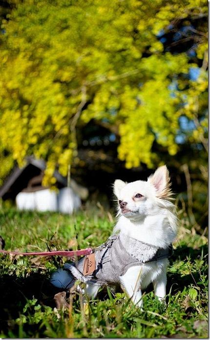 糸島、大イチョウの紅葉と犬チワワ